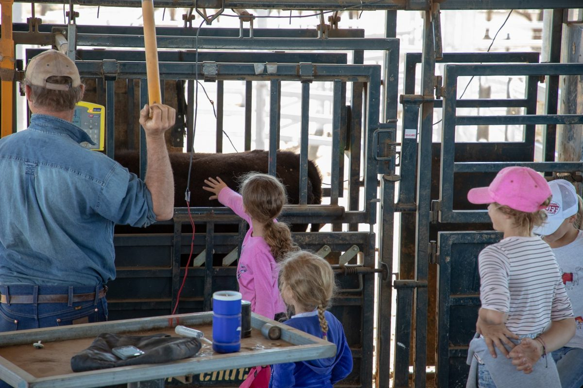 Weighing the cows