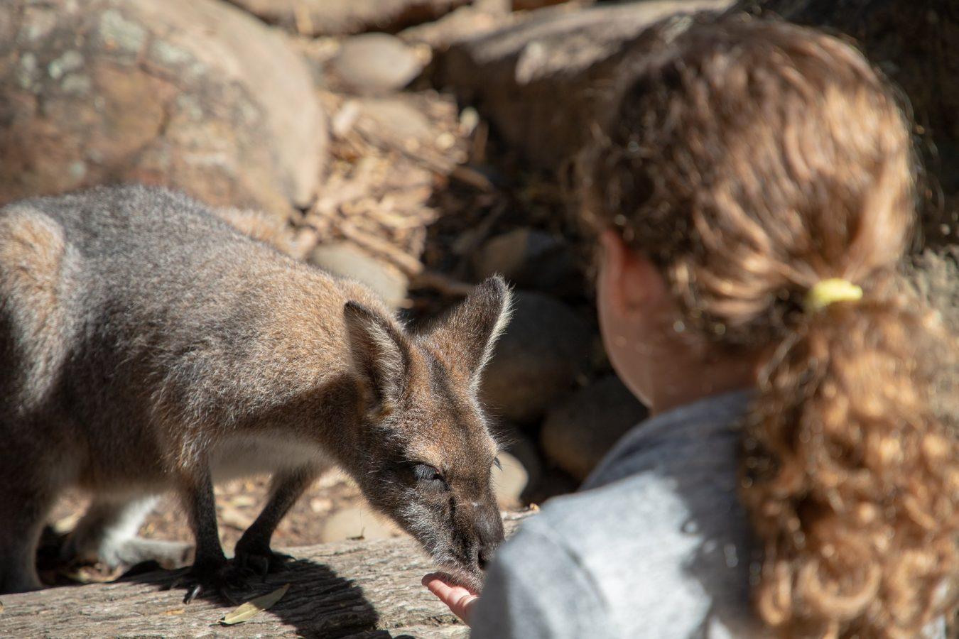 Feeding the Wallaby's