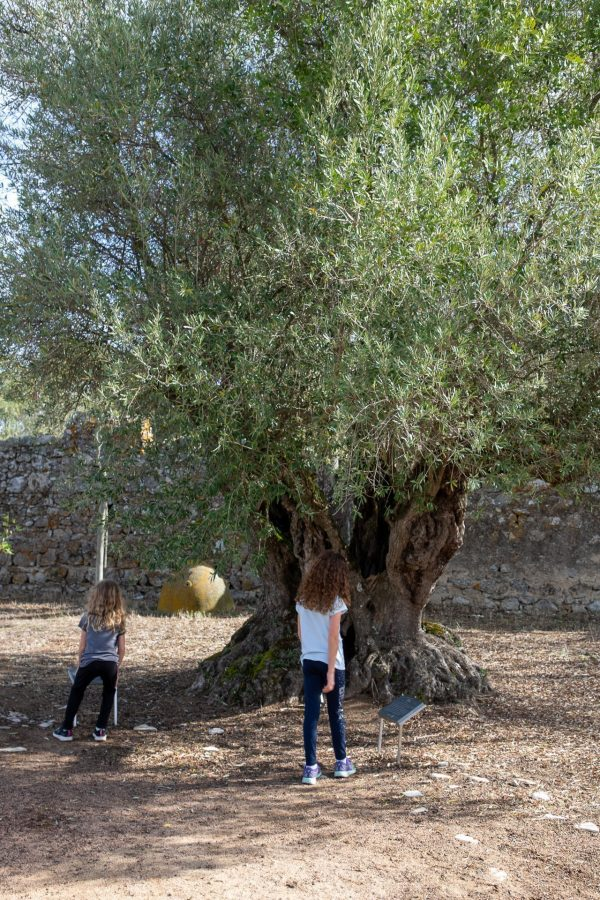 the 1100+ year old olive tree