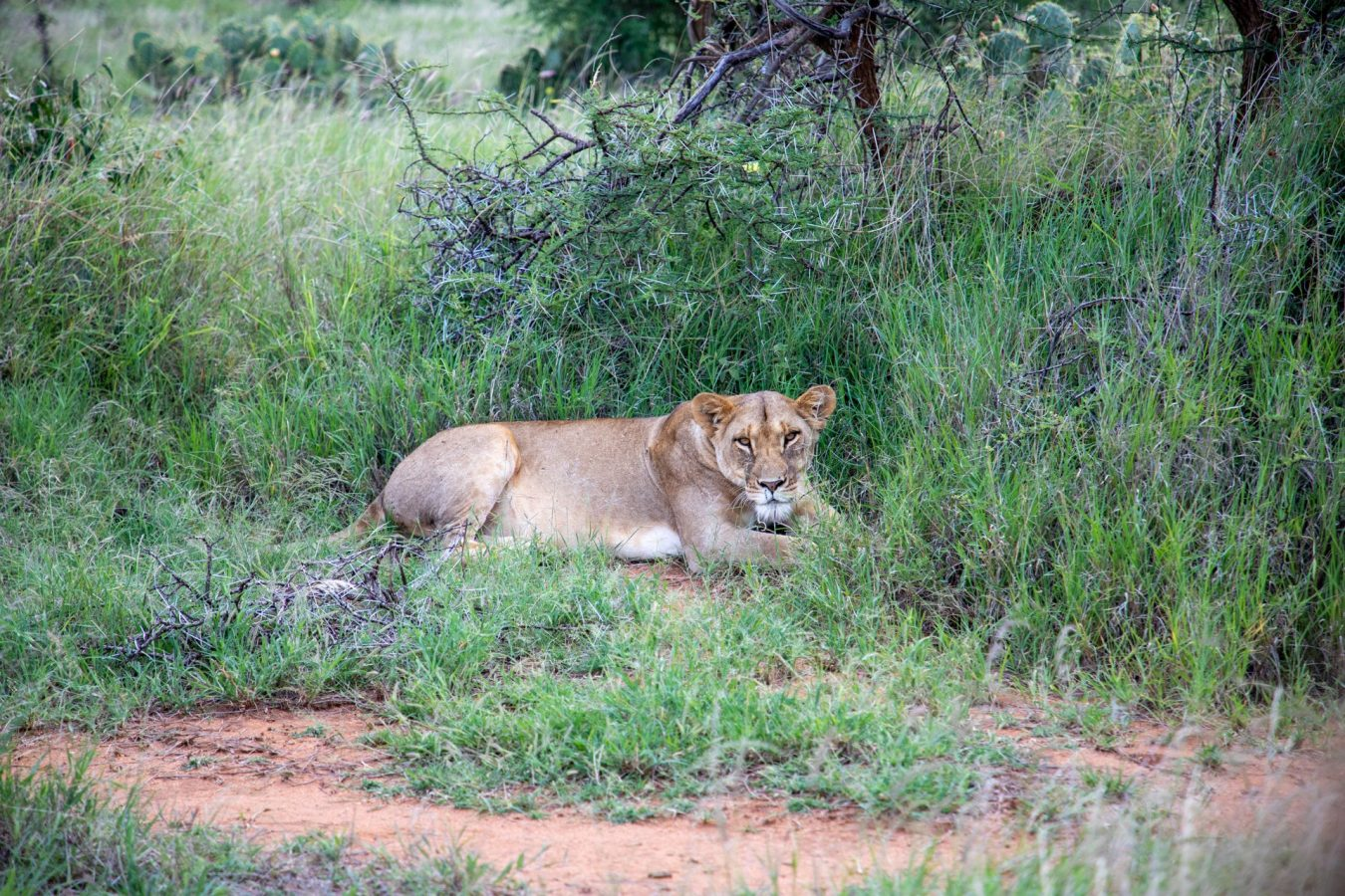 Our first lion sighting