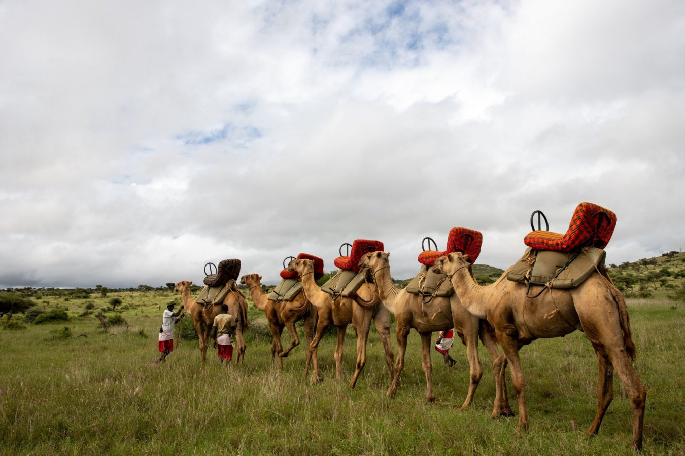 Camels all lined up, ready for our ride