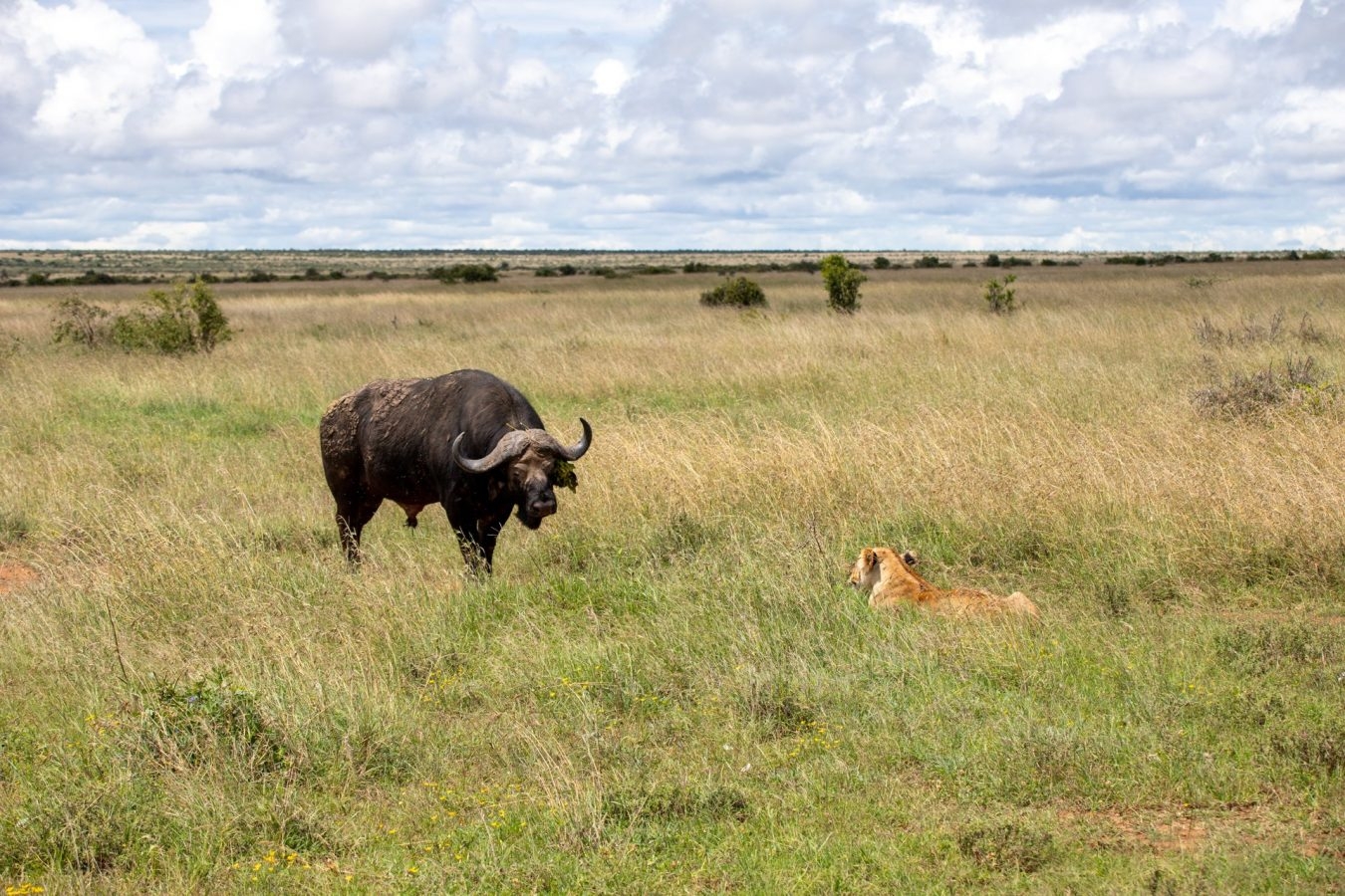 then the cape buffalo wandered in