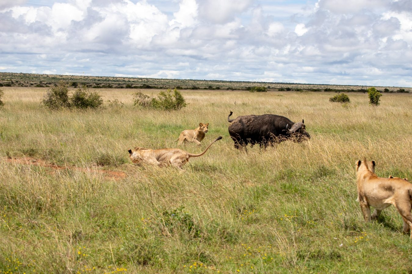 the lions chased the buffalo