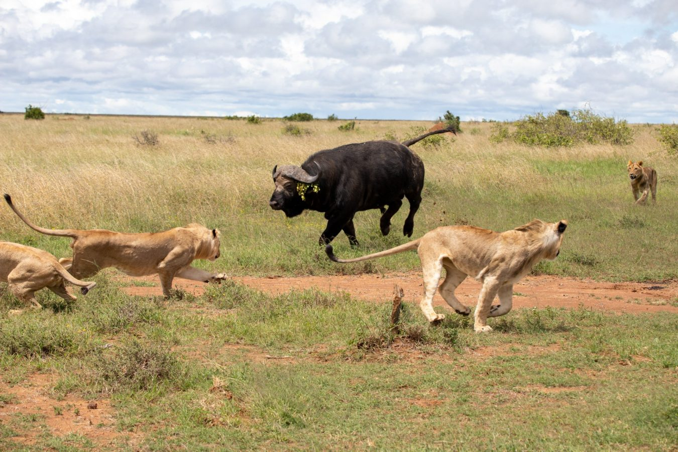 then the  chased the lions