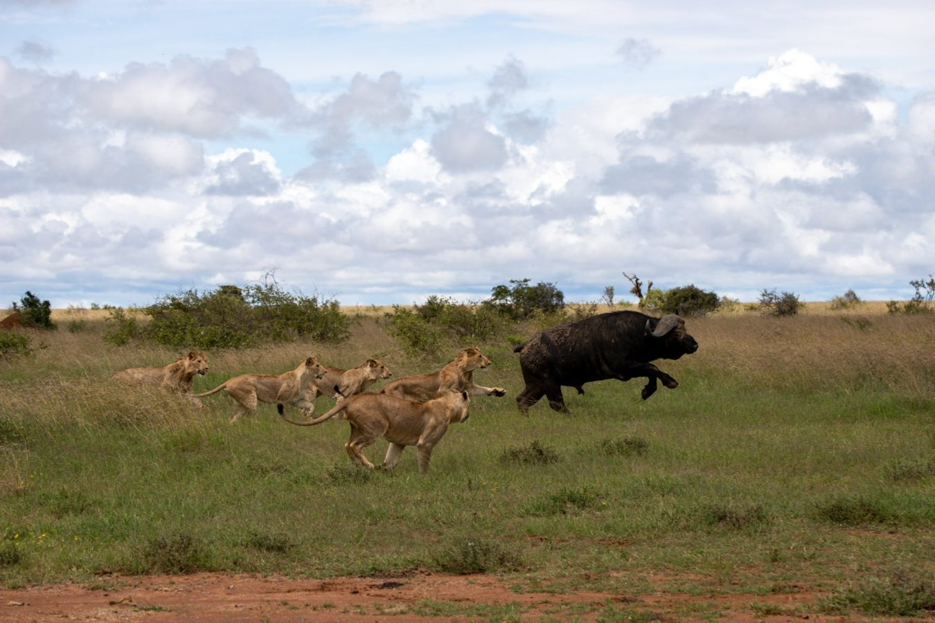 then the lions chased the buffalo a litle more